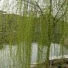 《柳树》柳树种植方法及养护技巧