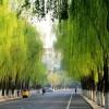 《垂柳》垂柳树苗多少钱以及种植方法