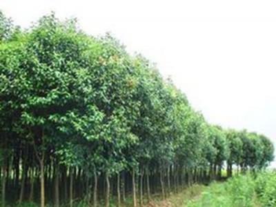 《大叶榆》大叶榆种植方法及养护