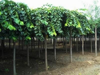 《大叶垂榆》大叶垂榆种植方法以及养护技巧