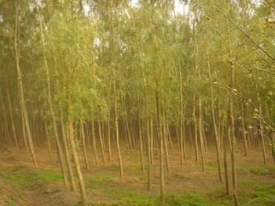 《金丝垂柳》金丝垂柳种植以及图片大全
